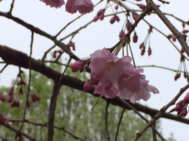 cherry_blossoms_2
