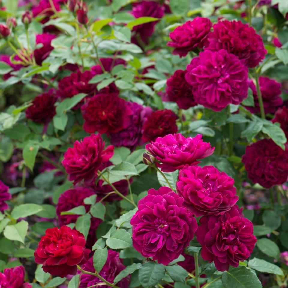 Rose Garden Finalists
