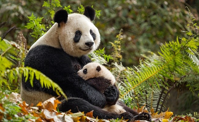 Disneynature's Born in China + Fun Facts about Animals