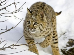 bobcat-2-wallpapers