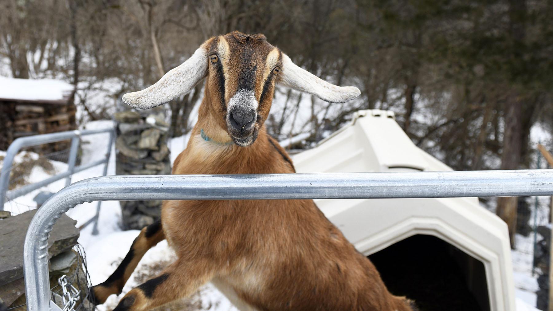 ODD Goat Mayor_1551991762635