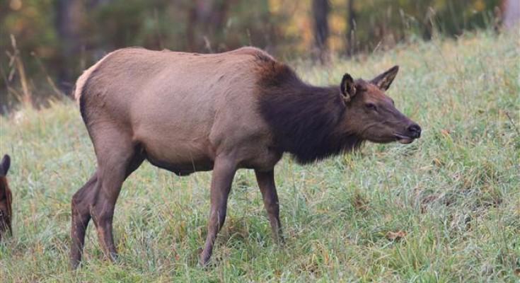 Elk Cam Goes Live in Pennsylvania