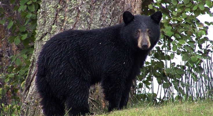Can Pennsylvania Hunters Set a New Bear Harvest Record?
