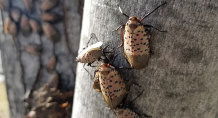 Research Reports New Ways to Combat the Growing Lanternfly Infestation