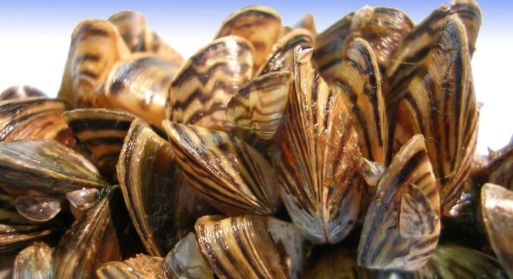 "Invasive Zebra Mussels Found in ""Moss Ball"" Aquarium Products Sold in Pennsylvania"