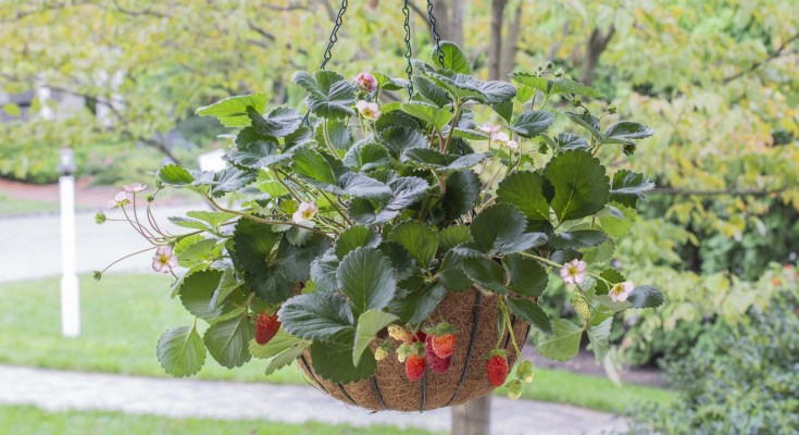 Rosy Belle Hanging Basket