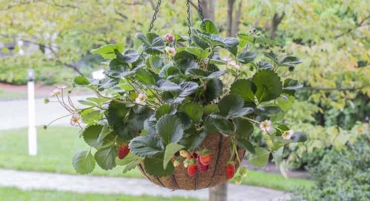 Rosy Belle Hanging Basket