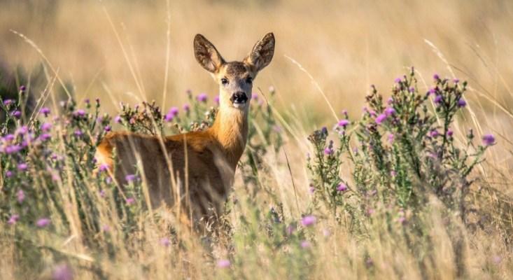 Antlerless Deer