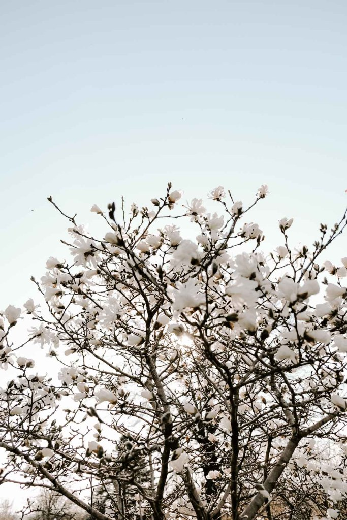 magnolia tree pictures and spring photography