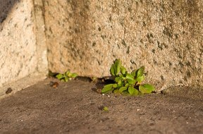 Plants grow in crack in the steps in front of the Whittemore Library.