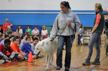 The Wolf Conservation Center in South Salem, N.Y., put on an educational wolf presentation May 20 at Cross Street Intermediate School in Naugatuck. Students in Kathy Mucha's fifth-grade language arts classes studied wolves as part of their unit on nature. The students adopted two wolves through the center as their culminating activity. In order to raise the $25 to adopt the wolves, each student performed two acts of kindness at home to earn a dollar from their parents. One class adopted Atka and the other class adopted Zepher, a Canadian-Rocky Mountain gray wolf. To bring Atka, one of the center's three ambassador wolves, to the school for a visit fifth-graders Ayanna Bencosme, Alysha Cacace, Adrianna Moreno, Sydney O'Donnell, Sarah Sookram and Autumn Travis created a power point presentation on how the visit would benefit students at the school and presented it to the school's Parent Faculty Group, which paid the $650 for the visit. Maggie Howell, executive director of the center, led Monday's program and taught the students about what the center does and the important role wolves play in nature. –CONTRIBUTED