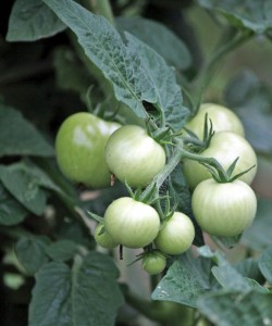 Tomatoes grow at the Beacon Falls Community Garden on Wolfe Avenue. –ELIO GUGLIOTTI