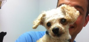The nonprofit organization Poodle Rescue Connecticut based in Naugatuck is looking to raise money to offset medical expenses for this dog, Merlin, a toy poodle, that needed to have its leg amputated after being abandoned and not taken care of properly. The medical bills were about $1,400. –CONTRIBUTED