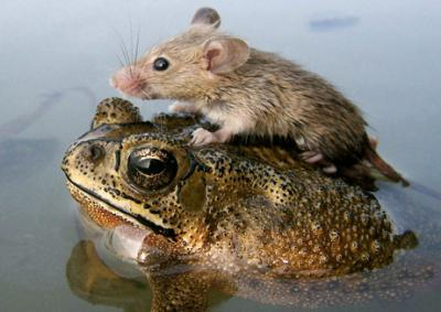 060705-mouse-frog_big.jpg