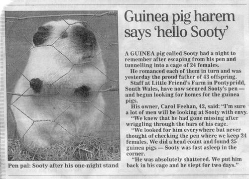 Sooty - Pimp Daddy Guinea Pig