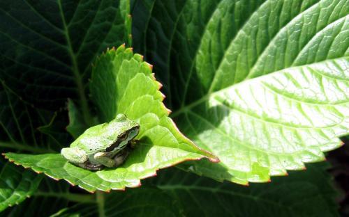 frog-leaf.jpg