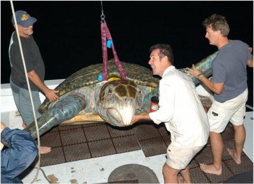 big ass turtle