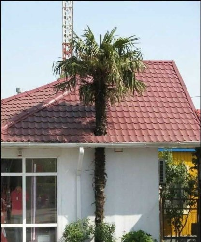 Palm Tree Roof Hole