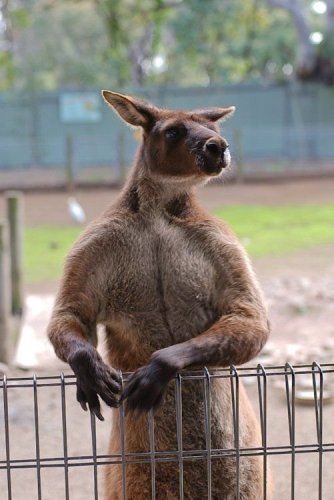 Kangeroo At The Fence
