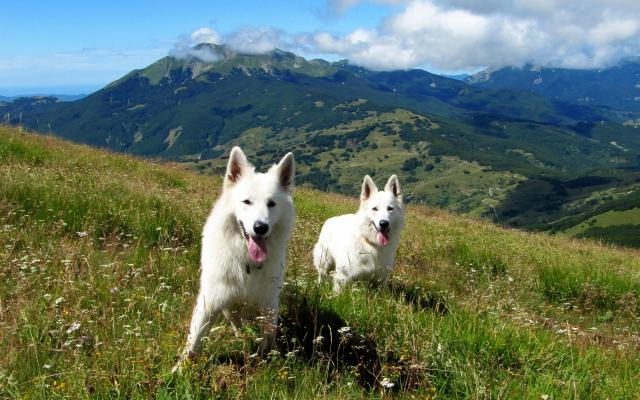 white doggies in the mountains