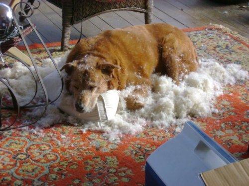 dog vs pillow