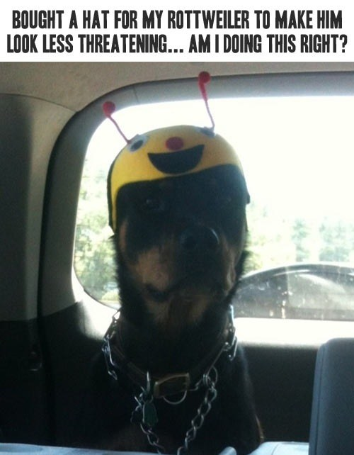 bought a hat for my rottwiler.jpg