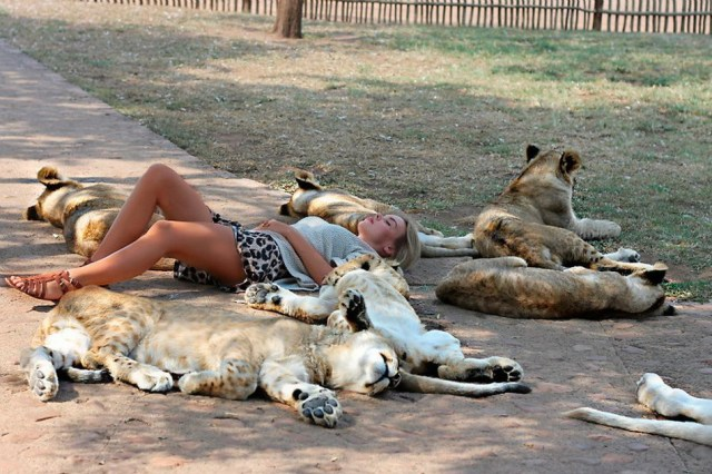 lioness sleeping.jpg