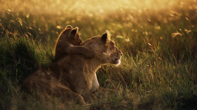 Lioness and cub wallpaper.jpg