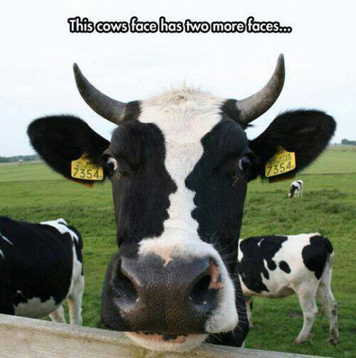 this cow has three faces.jpg
