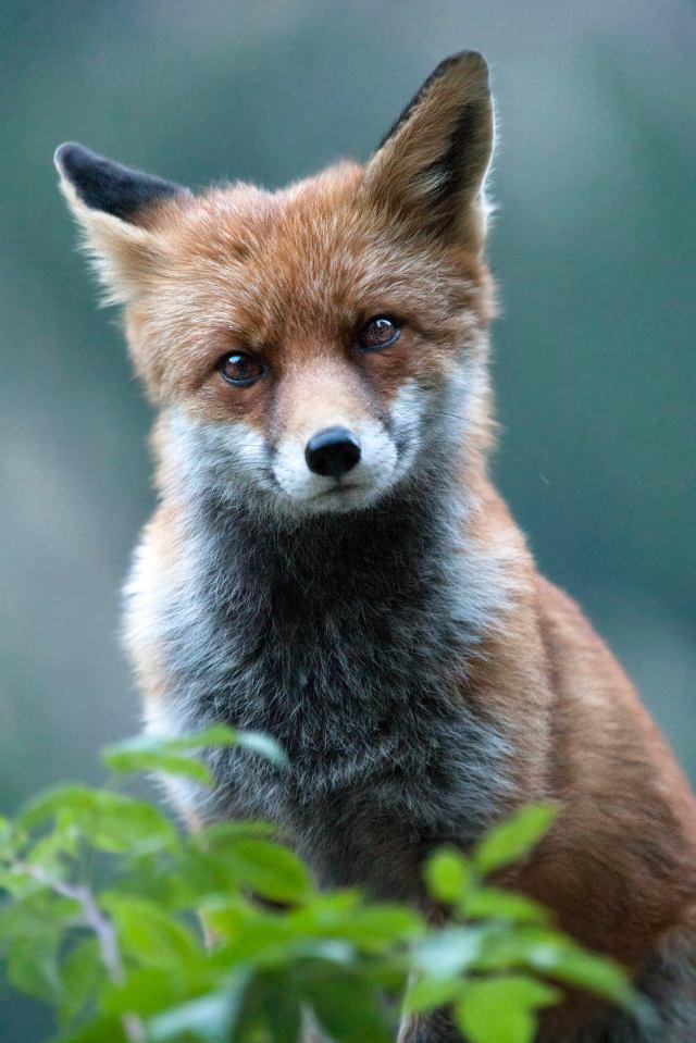 stare fox.jpg