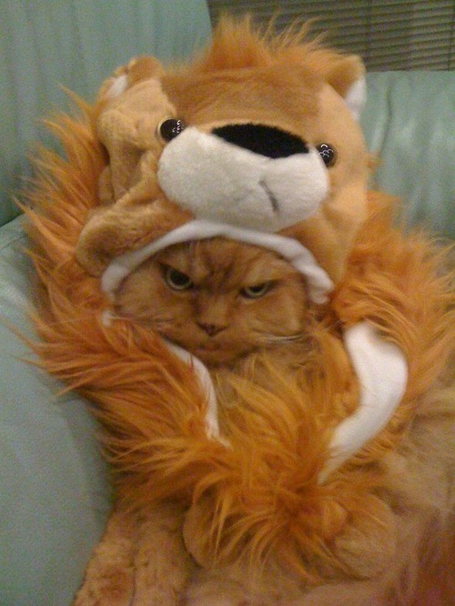 Grumpy lion cat.jpg