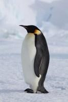 penguinCloseup750_231715
