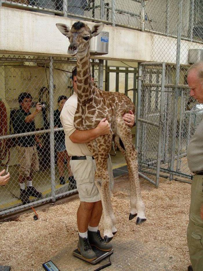 Weighing a giraffe.jpg
