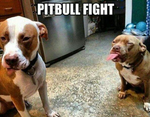 pitbull fight.jpg
