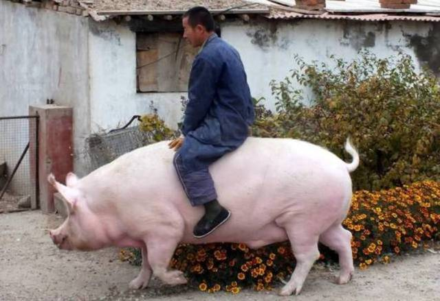 pig rider.jpg