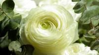 White Persian Buttercup.jpg