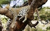 lazy leopard.jpg