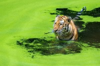 Tiger in green water.jpg