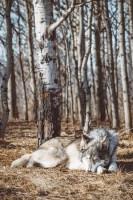 sleeping wolf.jpeg