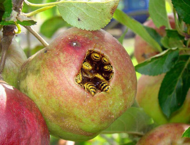 wasps in apple.jpg