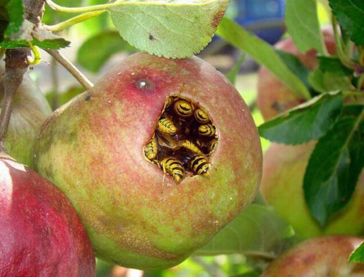 wasps in apple.jpg