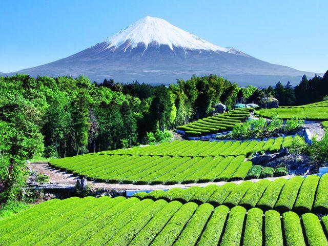 Tea Garden by Mount Fuji.jpg