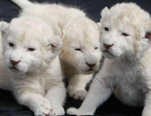baby-lions.jpg (48 KB)