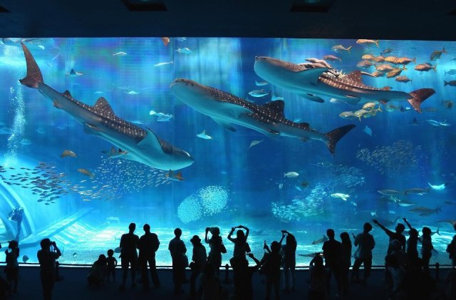 whale-shark.jpg (130 KB)