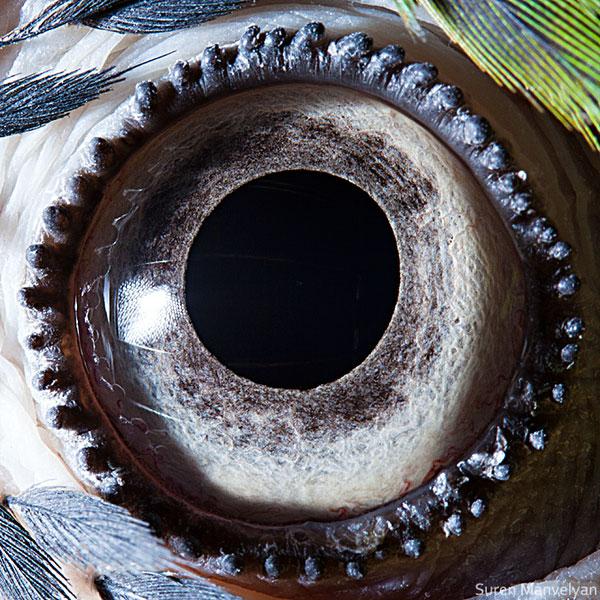 blue-yellow-macaw-parrot-close-up-of-eye-macro-suren-manvelyan.jpg (140 KB)
