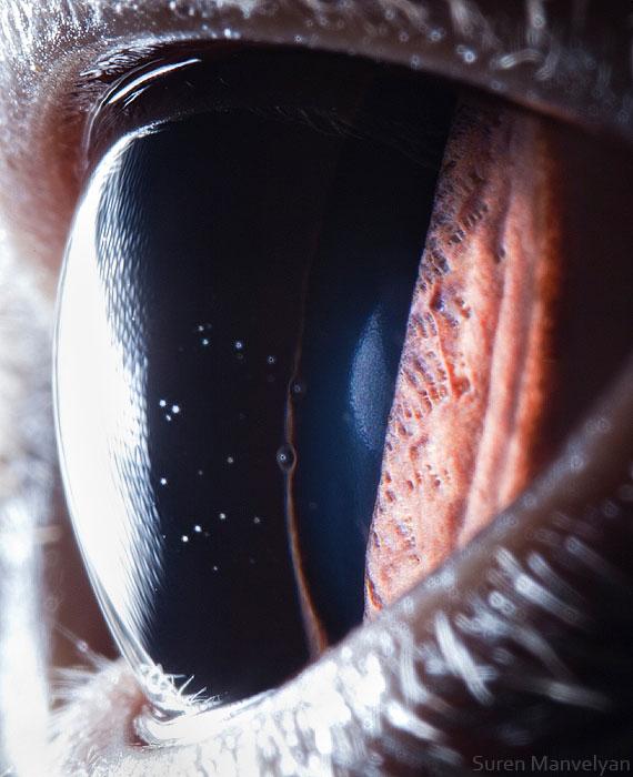 british-shorthair-cat-close-up-of-eye-macro-suren-manvelyan.jpg (72 KB)