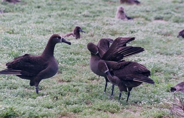 800px-Dance_of_Black-footed_Albatrosses1.jpg (107 KB)