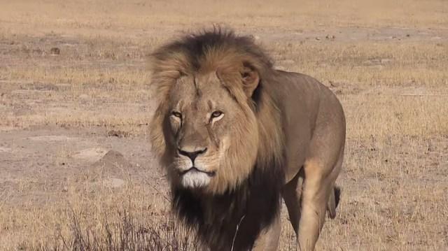 Cecil_the_Lion.jpg (147 KB)