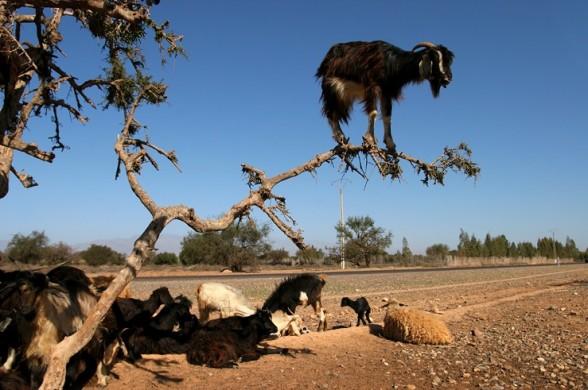 crazy_goats_14.jpg (70 KB)