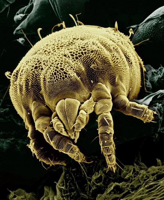 Yellow_mite_(Tydeidae)_Lorryia_formosa_2_edit2.jpg (732 KB)